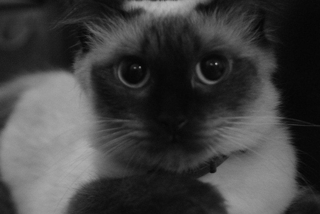 minnie-pisicabirmaneza